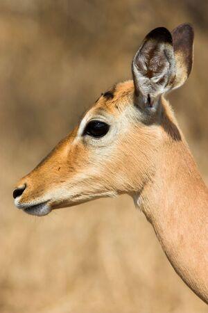Close up head shot of a female Impala photo