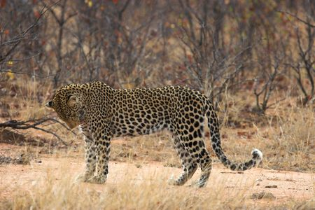 africat: Adult leopard pausing for a moment to groom itself