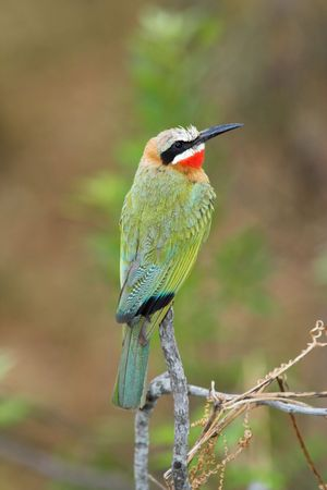 searching for: White-Fronted Bee-Eater sitting on a branch searching for insects