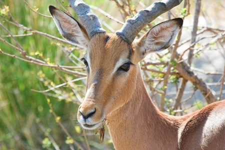 Impala Adult Male Looking at the camera photo