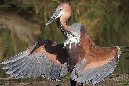 Goliath heron displaying its wings photo