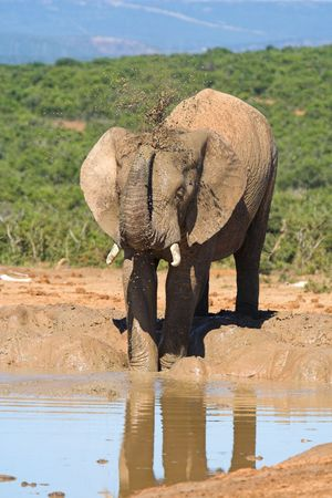 African Elephant using its trunk to splash muddy water over its skin Zdjęcie Seryjne