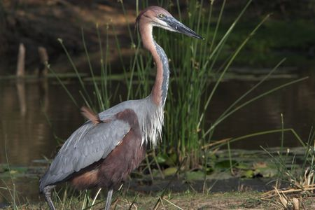 Goliath heron side profile with a misplaced feather photo