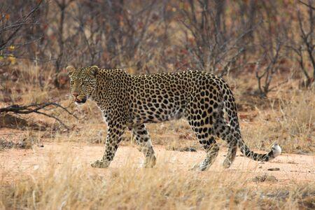 leopard cat: Adult leopard walking in the African bush