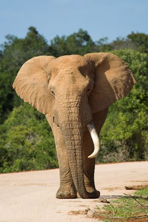 tusk: African Elephant with one tusk walking down the road Stock Photo