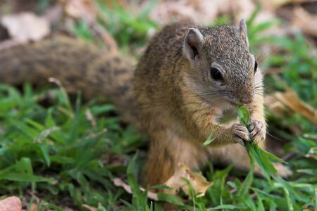 Tree Squirrel feeding on a blade of grass Stock Photo - 625287