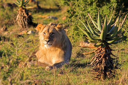 africat: Young Male Lion resting in the afternoon sun Stock Photo