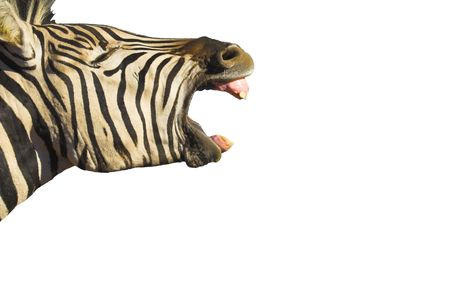 Zebra yawning with its mouth wide open, isolated on white. Good shot for dental projects Zdjęcie Seryjne