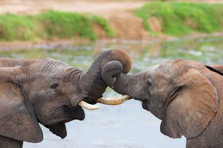 Two African elephants playing with their trunks