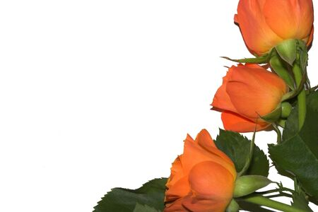 occasions: Orange Roses Isolated on white background. Roses for special occasions Stock Photo