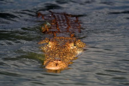 Crocodile floating