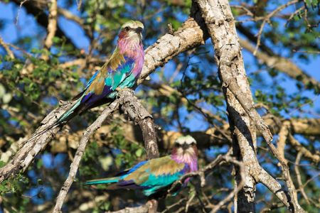 Lilac breasted roller pair sitting in a tree