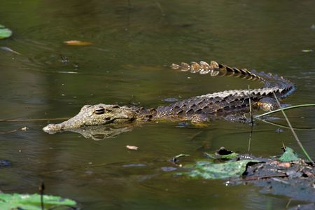 Juvenile Crocodile floating in the water photo