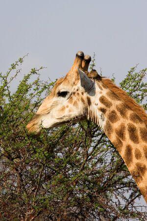 Giraffe feeding on a thorny acacia bush photo