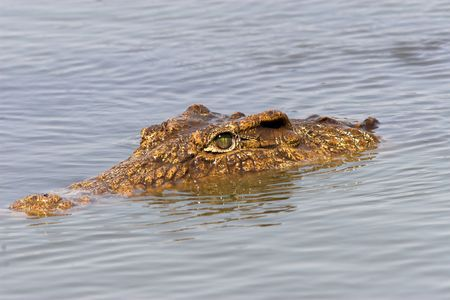 Close up of a crocodile head floating in the water photo