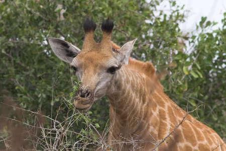 Portrait close up of a giraffe feeding photo