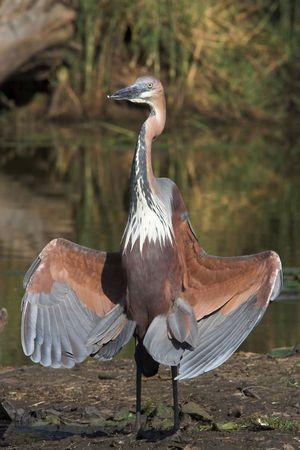 Goliath Heron sunbathing its wings photo