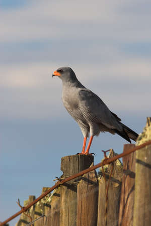 melierax: Alert Pale Chanting Goshawk scanning for prey in the early morning