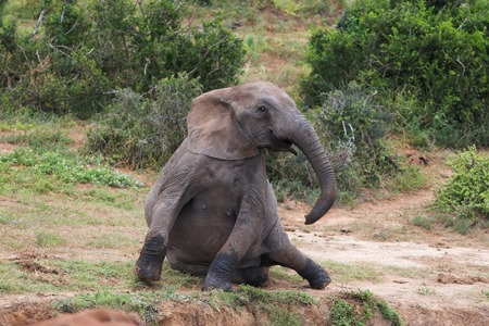 gigantic: African Elephant getting up after a rest