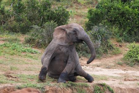 levantandose: Elefante africano de levantarse despu�s de un descanso Foto de archivo