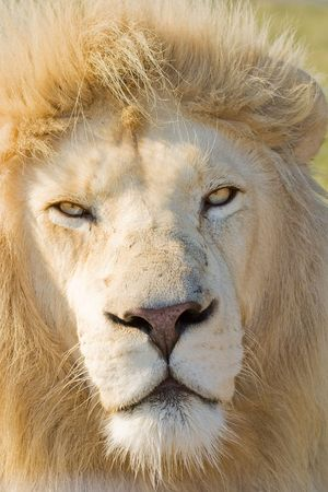 africat: Close up headshot of a Male White Lion