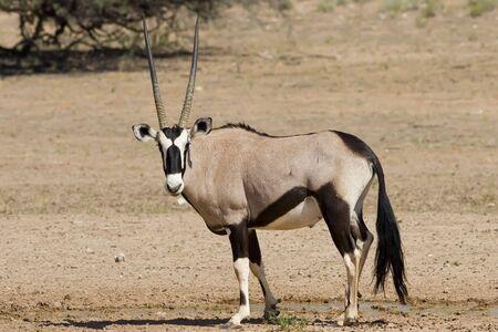 Majestic Gemsbok found in the arid Kalahari