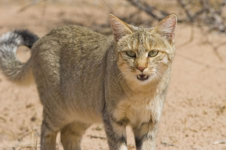 Rare sighting of the endangered African wildcat