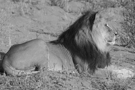 africat: Majestic Male lion resting in the sun