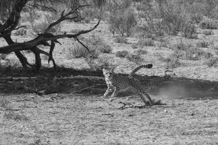 africat: Adult Cheetah chasing prey on the African plains Stock Photo