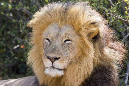 africat: Majestic Male Lion resting in the sun Stock Photo
