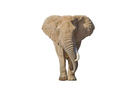 African Elephant isolated on white with lots of copy-space