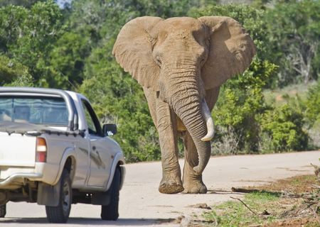 reversing: Elephant approaching a truck on a road in South Africa