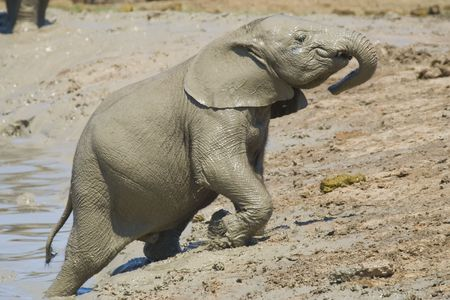 mud pit:  elephant trying to climb out of the mud pit Stock Photo