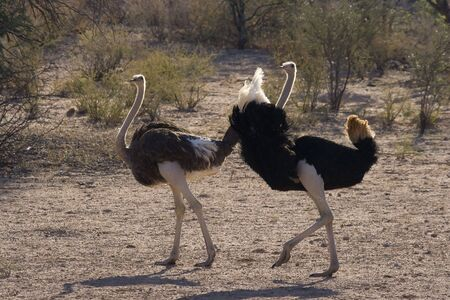 Male ostrich trying to court a female ostrich