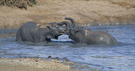 African elephants playing a game of dominance in the water Stock Photo - 2358032