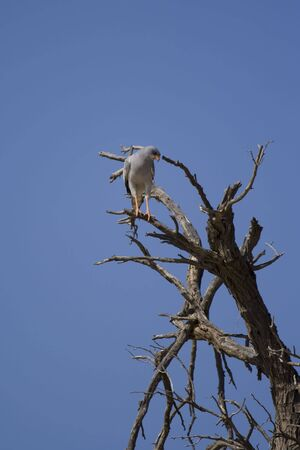 canorus: Pale chanting goshawk searching for prey from the perch of a dead tree