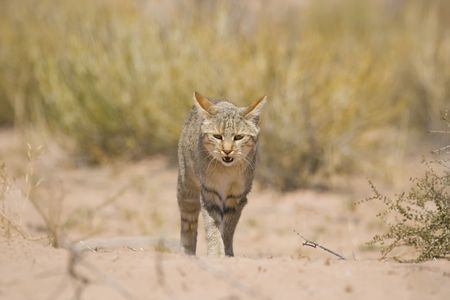 African wild cat walking in the savannah