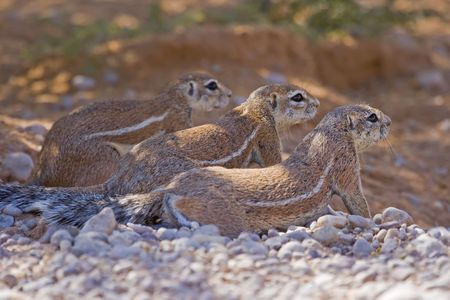 xerus inauris: Three ground squirrels resting together in the shade