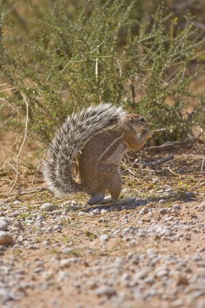 xerus inauris: Cape Ground Squirrel eating foraged food