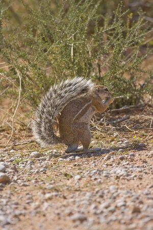 cape ground squirrel: Cape Ground Squirrel eating foraged food