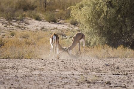 dueling: Fighting springbok creating a dust storm in the Kalahari