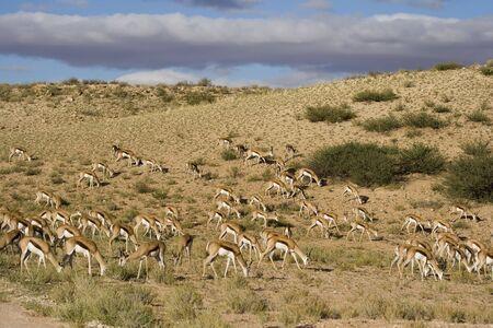 Herb of springbok feeding on grass in the Kalahari photo