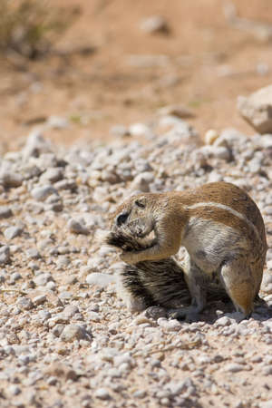 xerus inauris: Ground squirrel grooming its tail in the desert Stock Photo