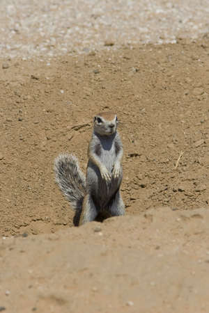 xerus inauris: Ground squirrel scanning for danger by its burrow