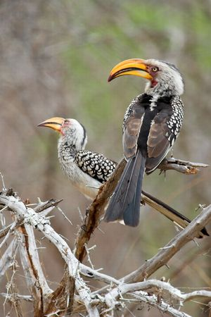 A pair of Southern Yellow-billed Hornbills on a branch Zdjęcie Seryjne