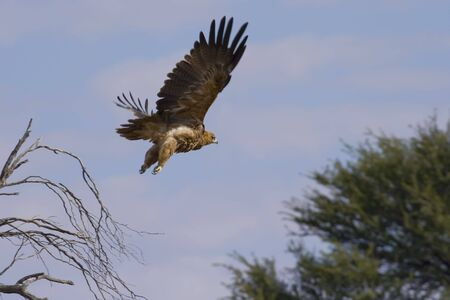 Booted Eagle in it's rufous form in flight