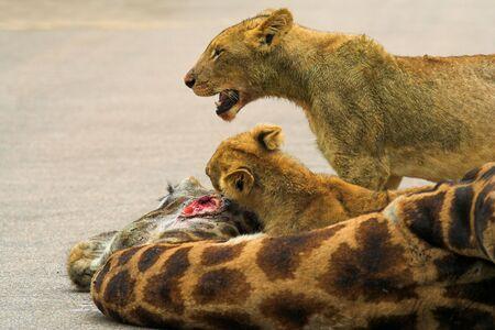 africat: Cubs Feeding on a giraffe Stock Photo