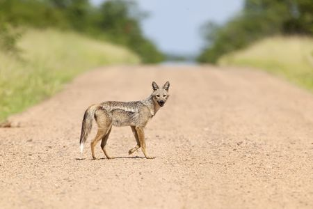 Rare shot of a Side Striped Jackal