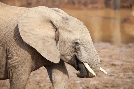 Young Elephant close up, playing with its trunk Stock Photo - 5727915
