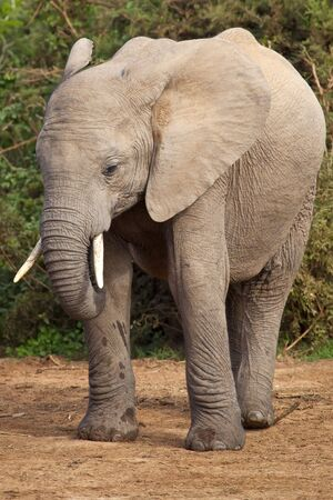 Portrait of a young elephant in the African bush